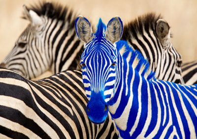 Retouch Zebra to Stand Out in the Crowd